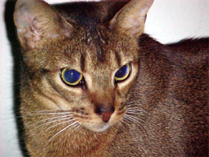 razze feline