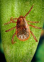 Ehrlichia Rhipicephalus sanguineus zecca comune