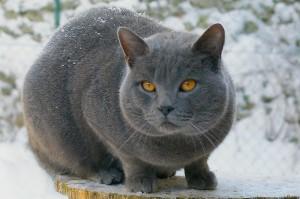 peritonite infettiva felina FIP